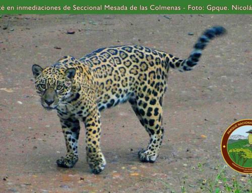 Yaguareté was seen in Calilegua.