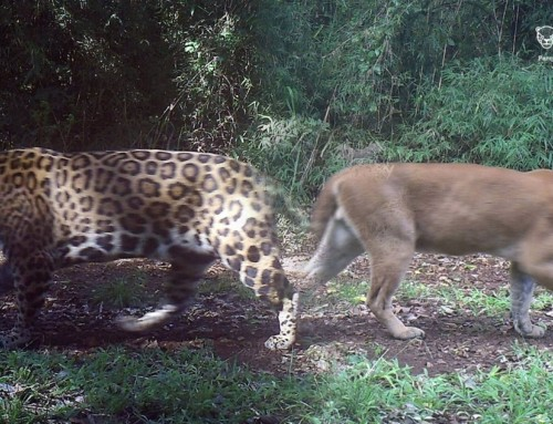 Presence and activity of jaguar (Panthera onca) and puma (Puma concolor) in Salto Encantado Provincial Park and surroundings, Misiones, Argentina.