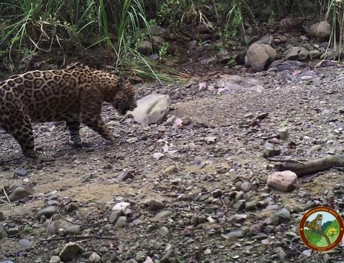 Record of a wild disabled jaguar in Baritú National Park, Salta province, Argentina