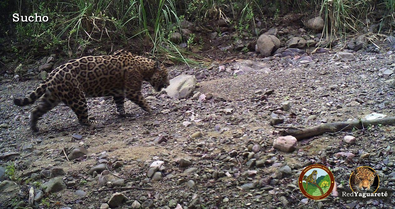 "Fig. 2. ""Sucho"", yaguareté macho sin mano delantera derecha en Parque Nacional Baritú, provincia de Salta, Argentina (Foto: Red Yaguareté/APN)."
