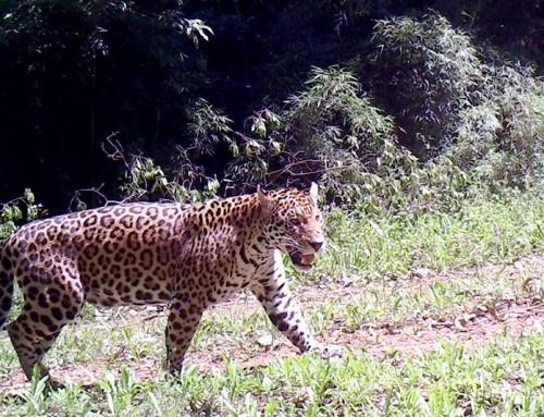 In coexistance with livestock, jaguar population is increasing in Salto Encantado.