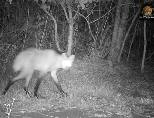 Primer registro documentado de aguará guazú para la ecorregión de la Selva Paranaense