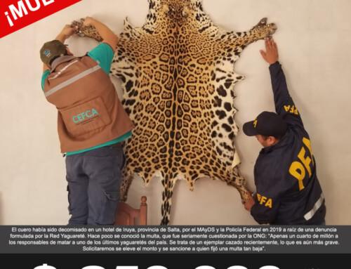$250.000 de multa por exponer piel de yaguareté en un hotel en Iruya.