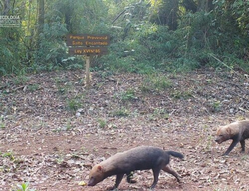 Primeros registros del zorro pitoco en el Parque Provincial Salto Encantado, Misiones, República Argentina.
