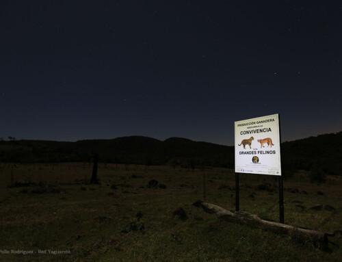 Evaluación de la efectividad de la compensación a ganaderos, ante pérdidas de vacunos por depredaciones de yaguareté (Panthera onca), en el valle del arroyo Cuñá Pirú, Misiones, República Argentina.